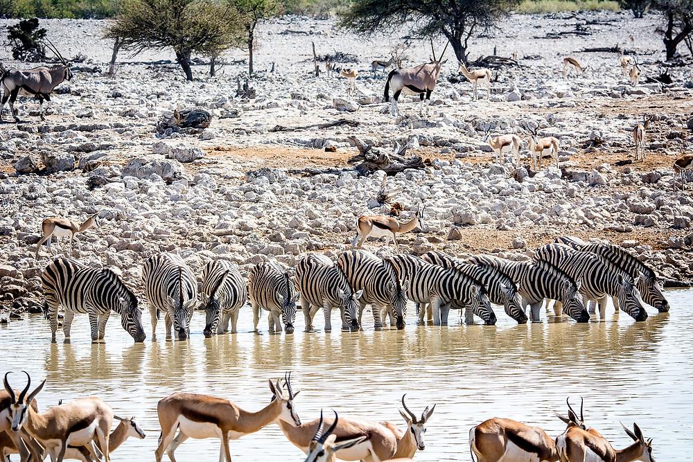 Zebraparade beim Okaukuejo Wasserloch