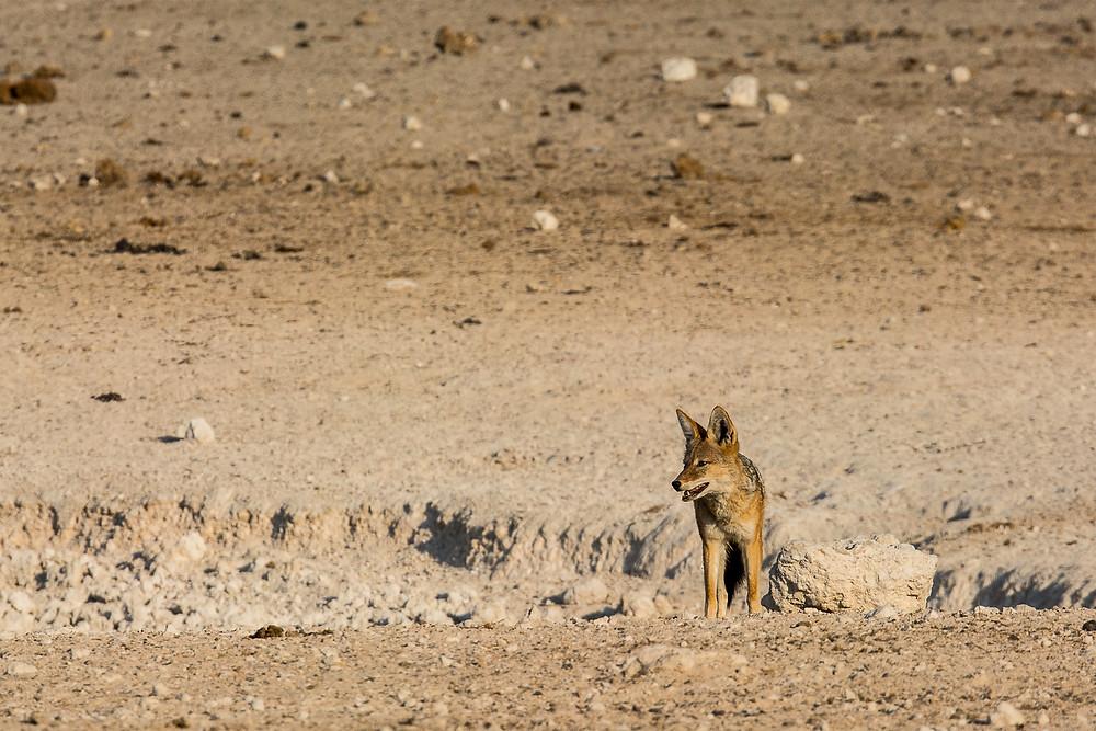 Schakale sieht man recht häufig im Etosha Nationalpark