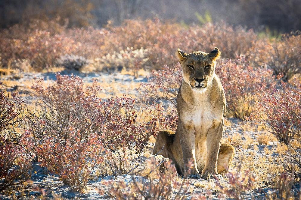 Eines unserer Highlights hier in Namibia war, als wir die erste Großkatze entdeckt haben.