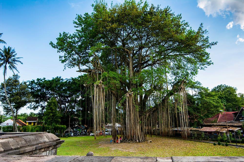 Ficus Benjamina Benjamini vor dem Tempel Mendut