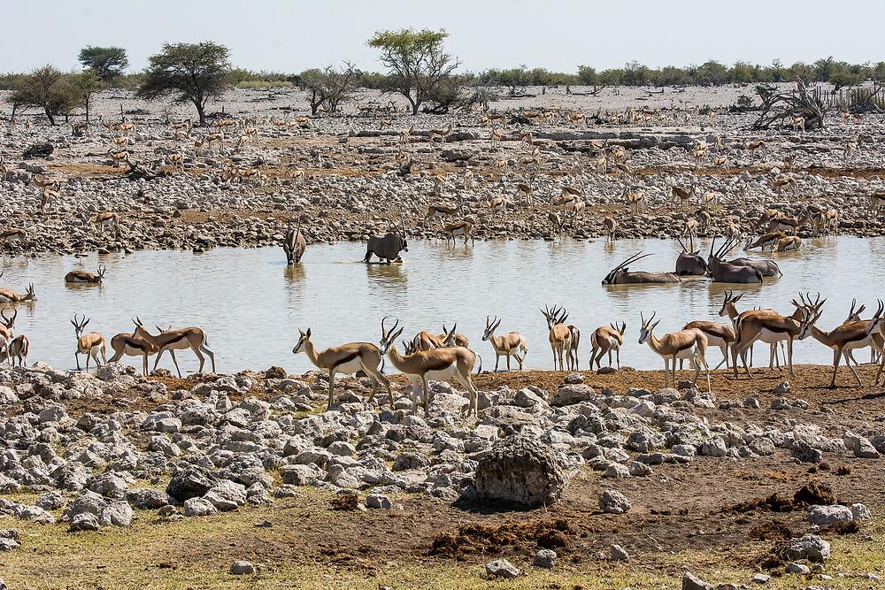 Das bekannteste Wasserloch in Namibia ist das Okaukuejo im Etosha Nationalpark