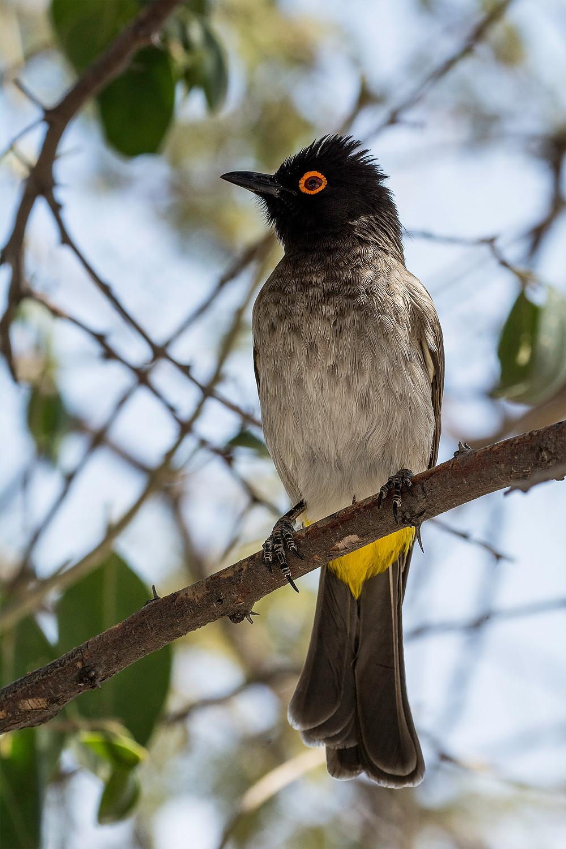 Der Etosha Nationalpark ist ein Paradies zur Vogelbeobachtung. Hier der rotäugige Bulbul