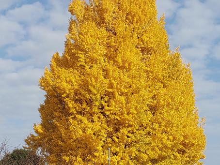 黄金色に輝く大銀杏