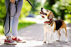 Young woman walking with Beagle dog in t