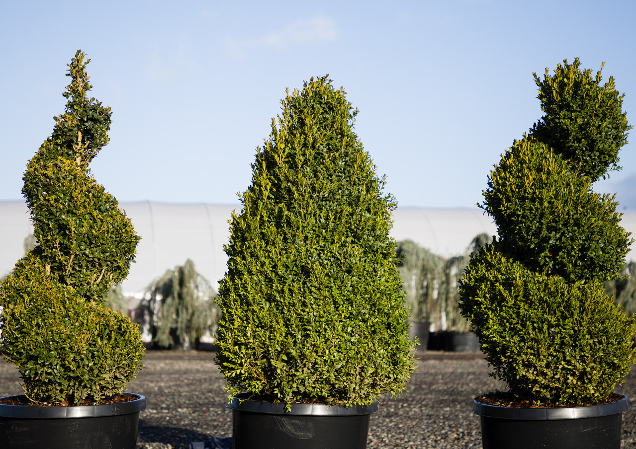 Buxus Sempervirens topiaries