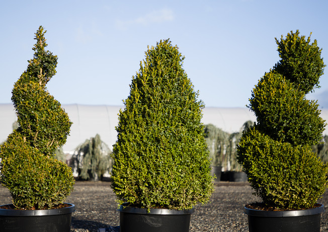 Buxus Sempervirens topiaries