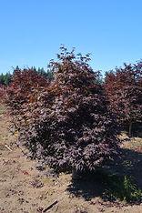 Acer palmatum Emperor 1