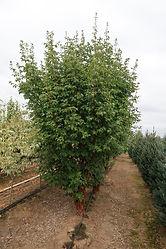 Acer griseum Low Multi
