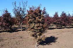 Acer palmatum Skeeter's Broom
