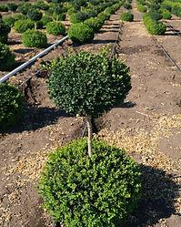 Buxus sempervirens 2 Ball