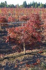 Acer palmatum  dissectum Red Dragon