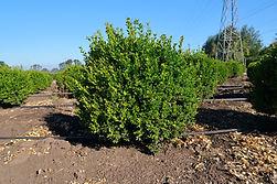 Buxus microphylla var japonica Gregem Baby Gem Boxwood