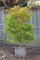 Acer palmatum Sango Kaku .JPG