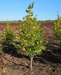 Acer shirasawanum Moonrise