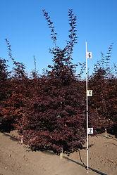 Acer palmatum Hefner's Red
