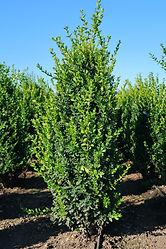 Buxus sempervirens Highlander