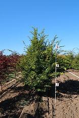 Acer palmatum Tobiosho
