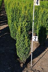Buxus sempervirens Fastigiata