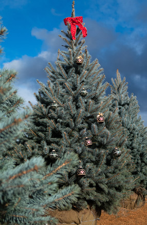 Blue Spruce with Ornaments.jpg