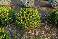 Buxus microphylla Winter Gem