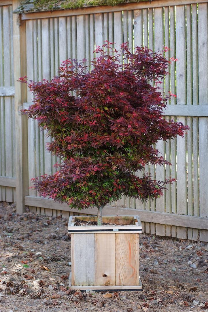 Acer palmatum Shaina.JPG
