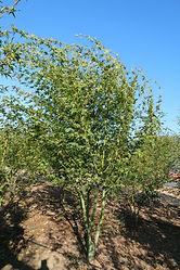 Acer palmatum Multi