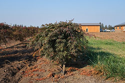 Acer palmatum  dissectum Orangeola'