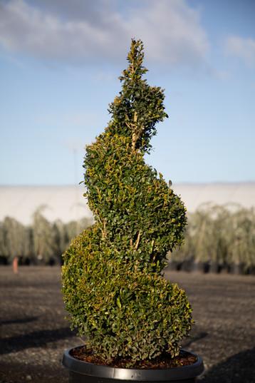 topiary b. sempervirens.jpg