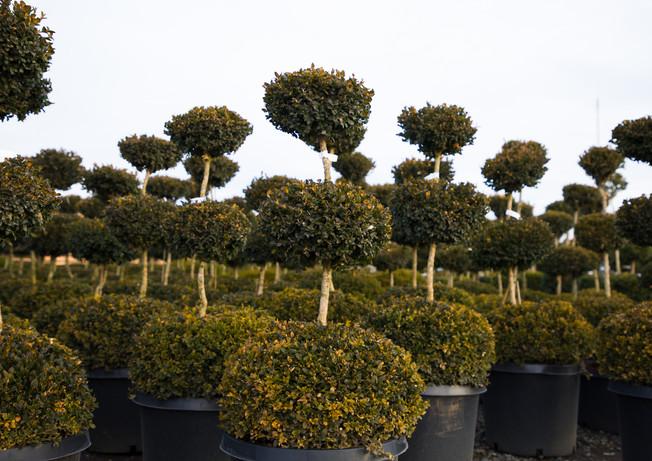 Buxus sempervirens 3 Ball