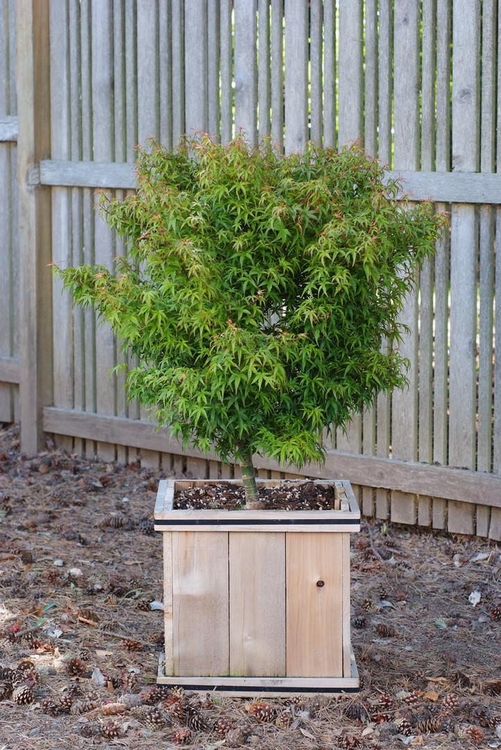 Acer palmatum Sharp's Pygmy.JPG