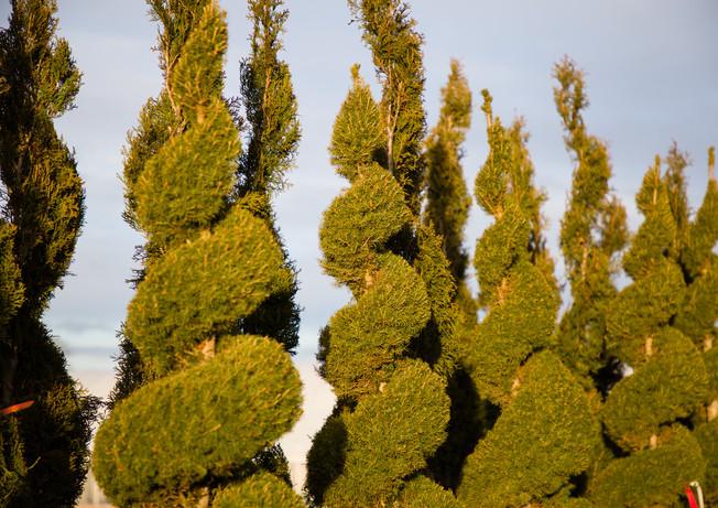 Picea glauca 'Conica' Spiral