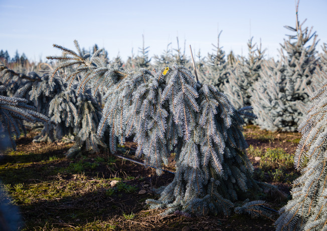 Picea pungens 'Glauca The Blues'