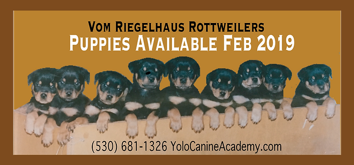Rottwieler Puppies for Sale-02.png