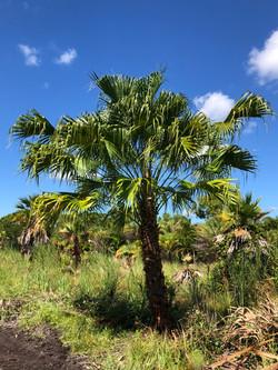 Fountain Palm - Livistona chinensis