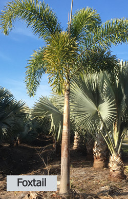 Foxtail Palm -Wodyetia bifurcata