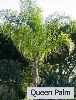 Queen Palm - Syagrus romanzoffiana