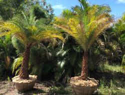 Sylvester Date Palm - Phoenix Sylvestris