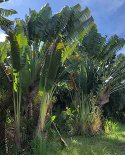 Traveller Palm - Ravenala Madascariensis