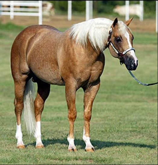 Yellow Roan Of Texas
