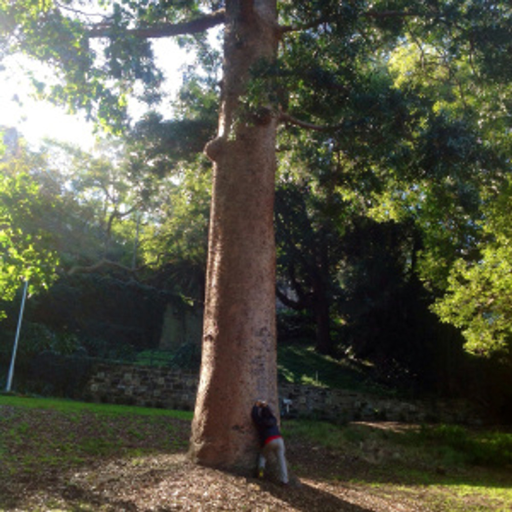 Huge tree in watt park lavender bay