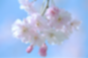 cherry blossom for SHINE.png