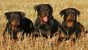 Lista pięciu najgroźniejszych psów świata.