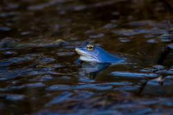 Żaba moczarowa