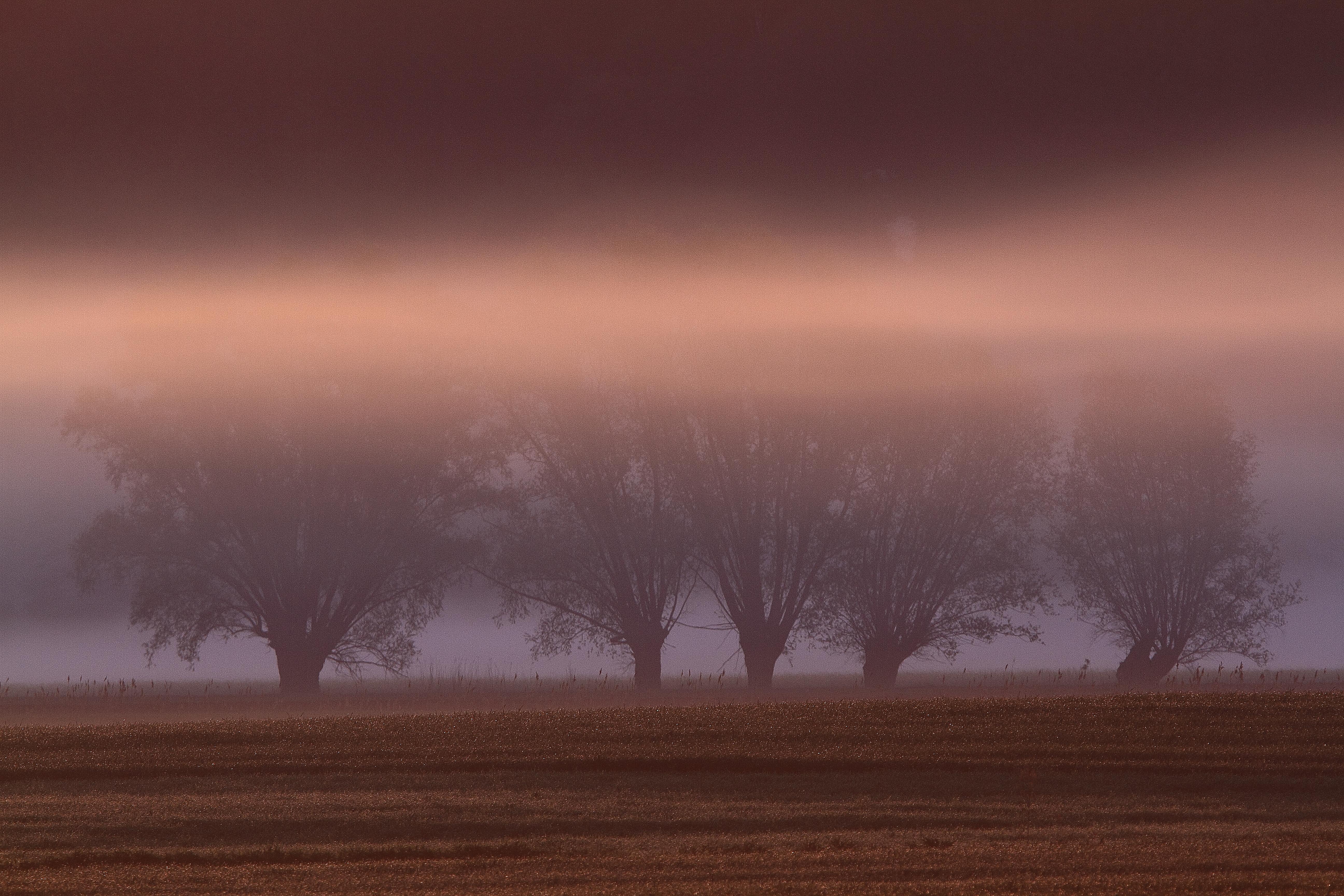 Wierzby spowite mgłą