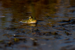 Żaba jeziorkowa