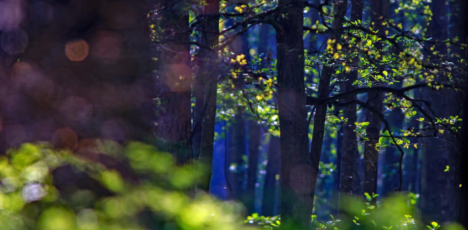 Las liściasty o poranku