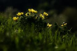 Miłek wiosenny