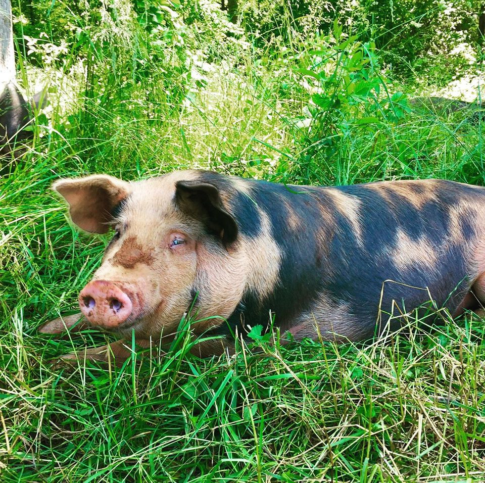 Pasture-raised pork ensures full nutrition and an ethical farming practice