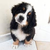 Filhote de Bernese Mountain Dog