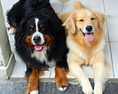 Bernese e Golden Retriever
